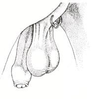 Piercing Hoden